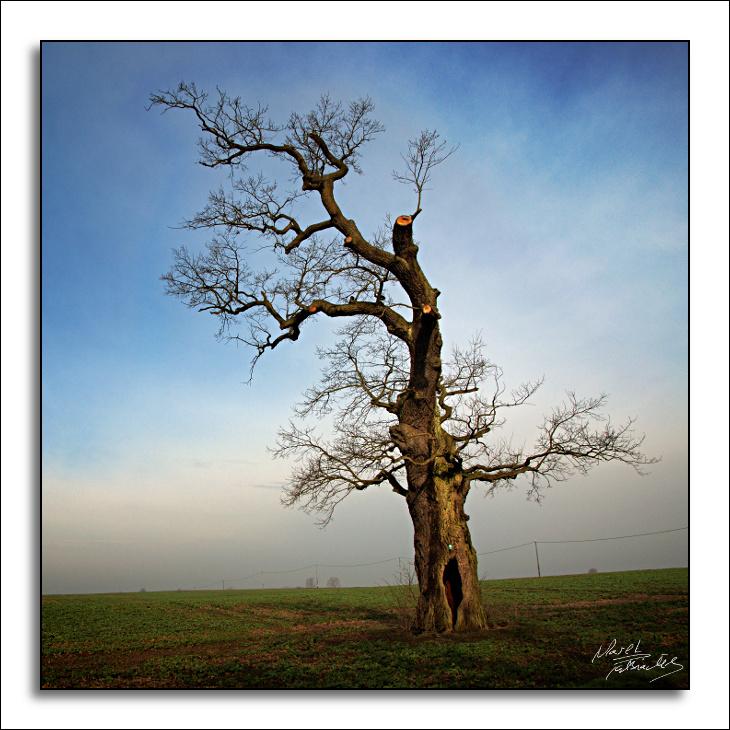 Dąb (Quercus)