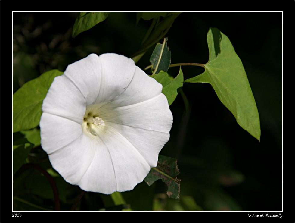 Kielisznik zaroślowy (Calystegia sepium)