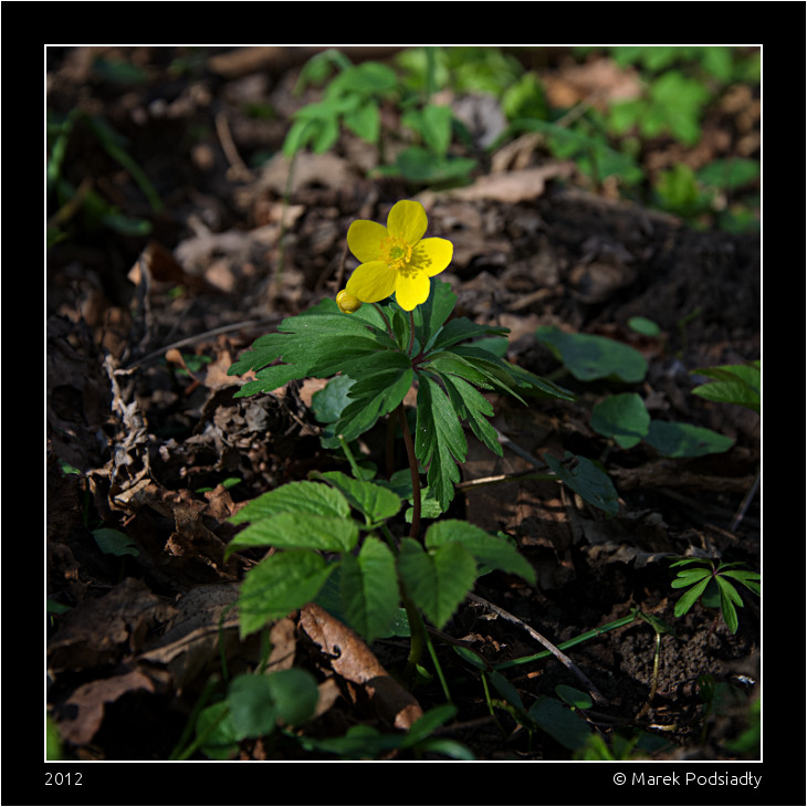 Zawilec żółty