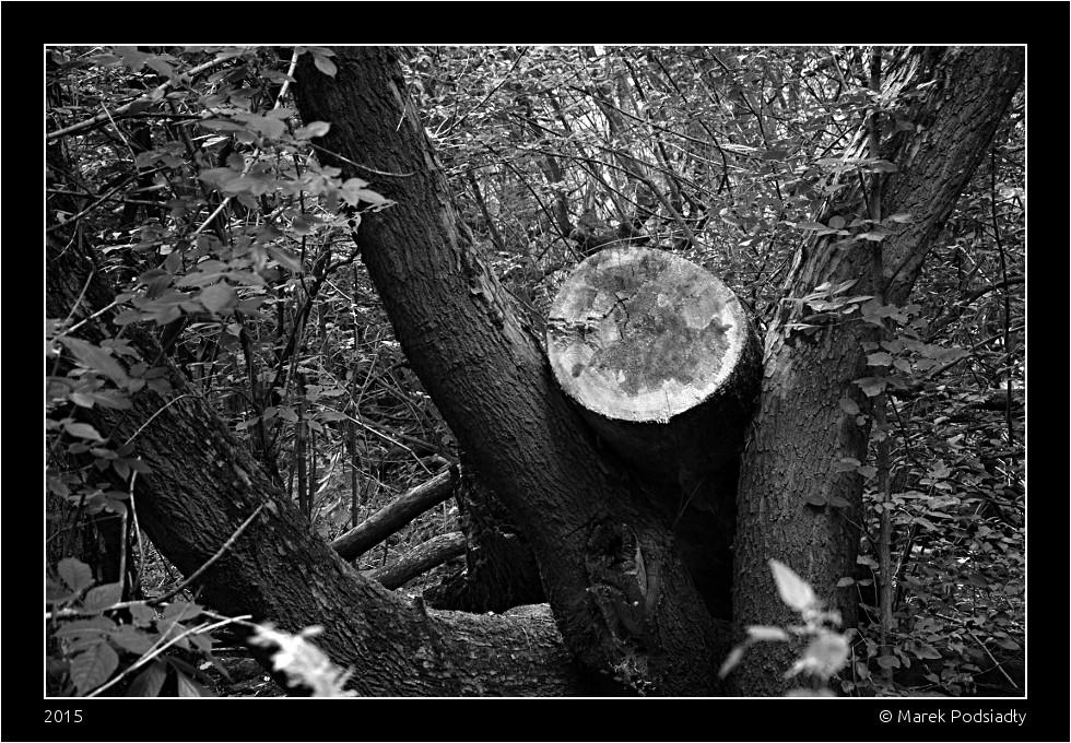 Pień drzewa